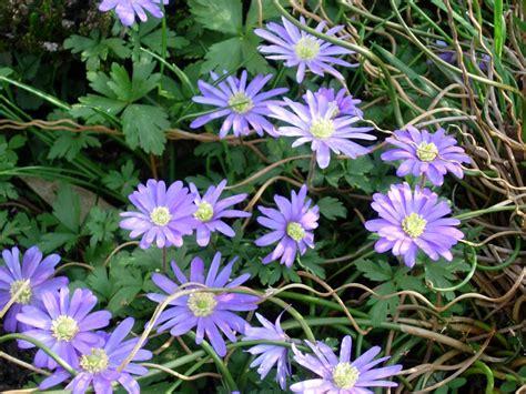 fiori anemoni foto foto gratis anemoni viola fiori di primavera immagine