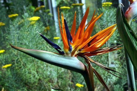 fiore uccelli paradiso uccelli paradiso piante da giardino