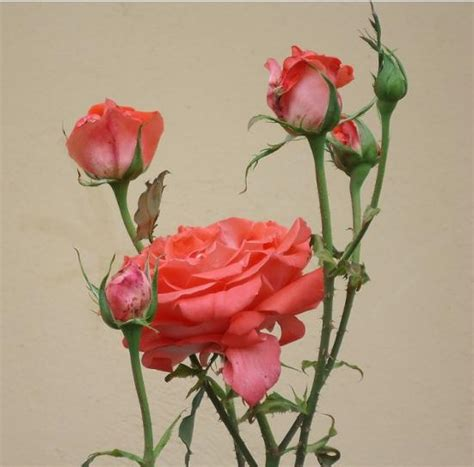imagenes rosas con espinas rosas con espinas redecilla del camino