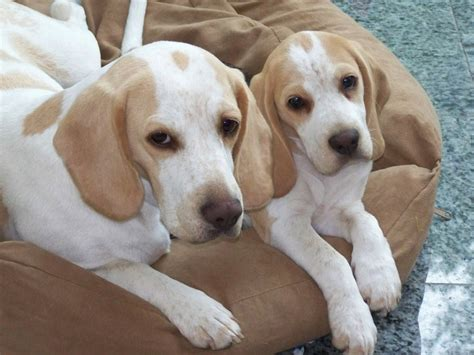 lemon beagle puppies lemon beagles awww