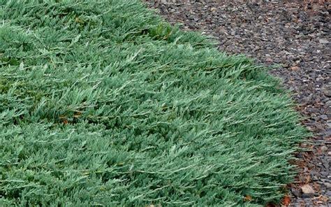 rug juniper buy blue rug juniper from wilson bros gardens