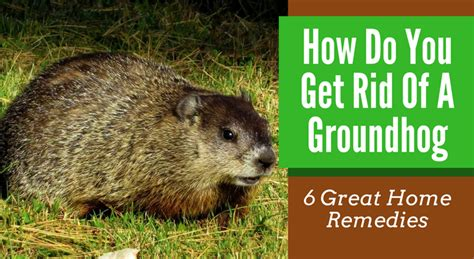 how to get rid of a groundhog in my backyard how do you get rid of a groundhog 6 great home remedies