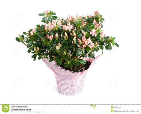 azalea in vaso azalea in vaso isolato su fondo bianco immagine stock