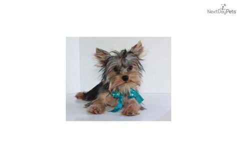 free yorkie puppies in missouri terrier yorkie puppy for sale near springfield missouri 85eba222 d0e1