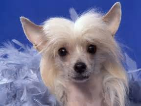 chinese crested all small dogs wallpaper 14883889 fanpop
