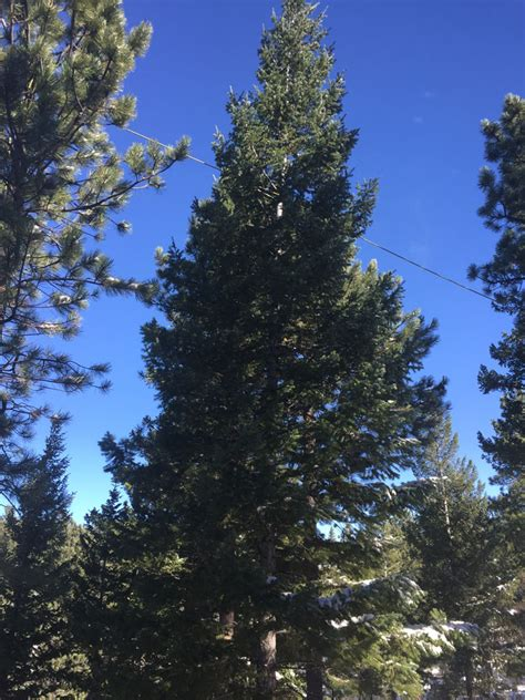 colorado native christmas trees links