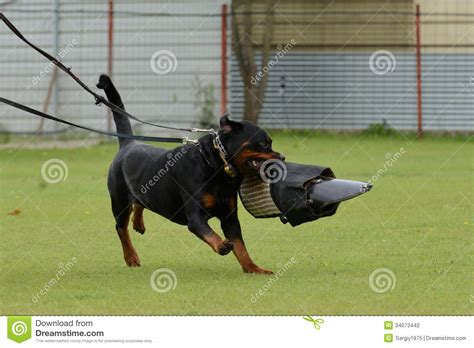 working rottweiler rottweiler working test stock photography image 34073442