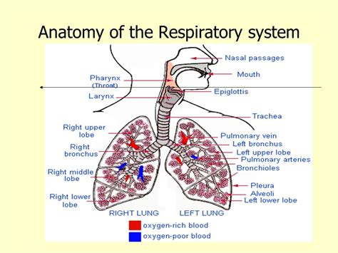 images of the respiratory system diseases of respiratory system ppt