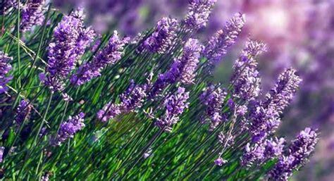 jenis bunga lavender  manfaatnya