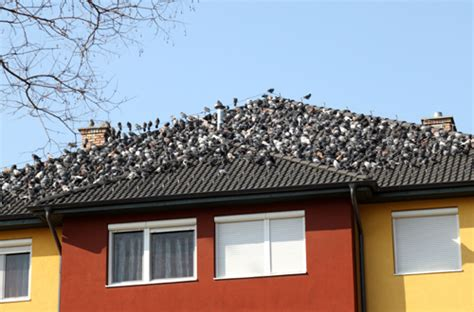bird control blog bird control for your roof