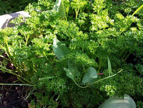 Plant De Persil by Comment Et Quand Semer Planter Du Persil