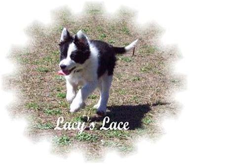 border collie puppies virginia purebred border collie puppies for sale in virginia
