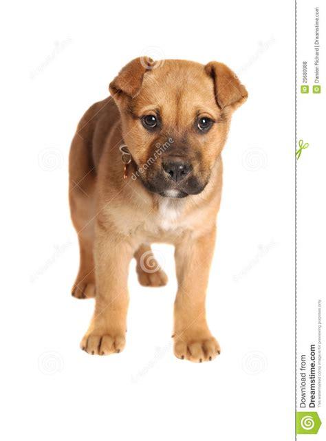 boxer mastiff puppies boxer mastiff puppy royalty free stock photos image 29680988