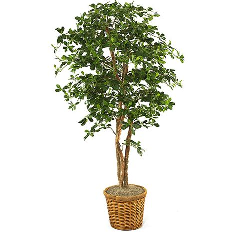 Tree In A Planter by Olive Tree In Planter Walmart