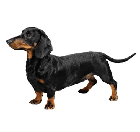 Haired Dachshund Shedding by Smooth Haired Dachshund Breeds Purina