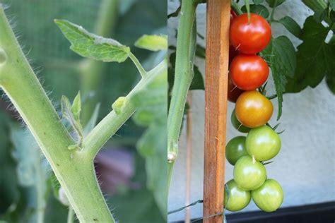 tomaten ausgeizen ab wann tomaten ausgeizen ja oder nein ab wann bebilderte