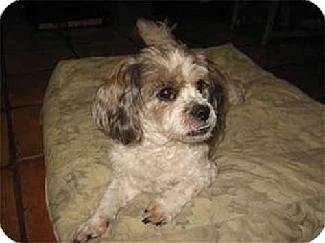 shih tzu poodle mix florida shih tzu poodle miniature mix for adoption in melbourne florida adler