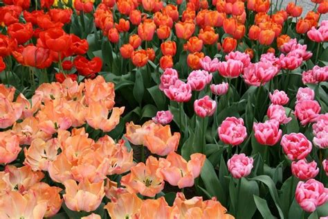 Pupuk Untuk Bunga Tulip tulipku oh sibuknya nyonya sibuk