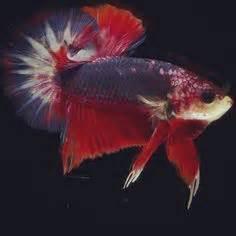 Ikan Cupang Hias Kontes Plakat Hellboy jual ikan cupang hias plakat kontes harga jual ikan cupang hias kontes indobettafish