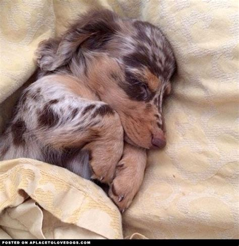 haired dapple dachshund puppies for sale best 25 haired dachshund ideas on haired miniature dachshund