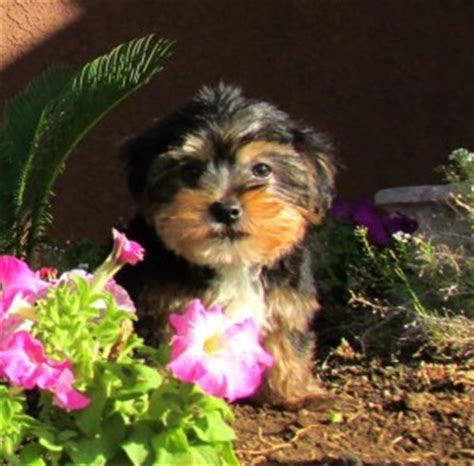 cheap yorkie puppies for sale in ga dogs augusta ga free classified ads