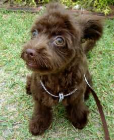 Chocolate poodle mix galleryhip com the hippest galleries