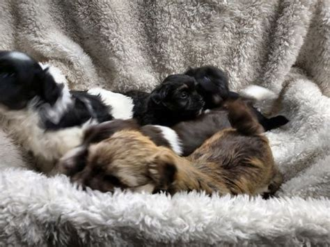 puppies for sale in winston salem nc best 25 havanese puppies for sale ideas only on maltese mix teddy