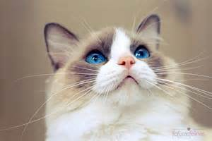 Best Pictures of Cats and More: Ragdoll cat photo by Giane Portal Bestofcats