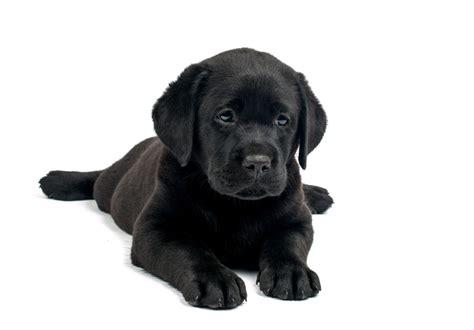 black lab puppies for sale in standards for black lab puppies lovable labradors