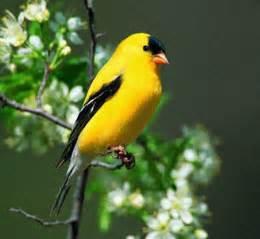 washington willow goldfinch bird pictures state birds