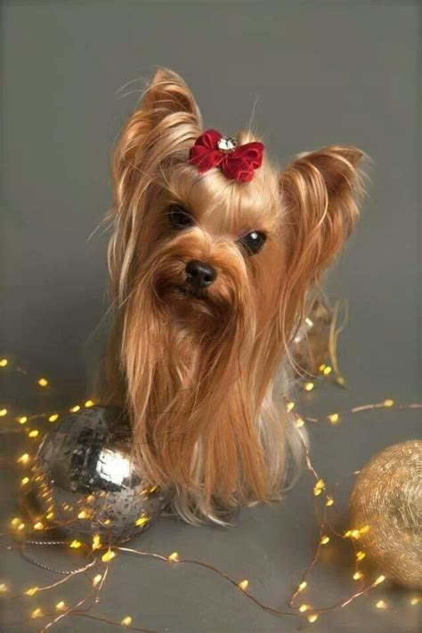 images of christmas yorkies 254 best images about christmas yorkies on pinterest