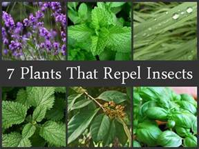 7 plants that repel insects insects plants and lemon balm