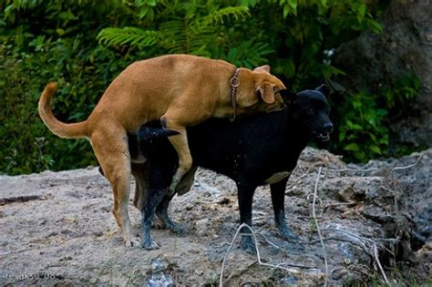 how do dogs to be to breed how do dogs mate