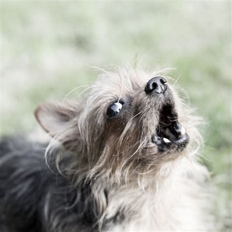 yorkie barking sounds 17 things only terrier owners understand