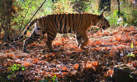 Bengal Tiger   Species   WWF
