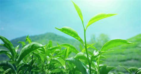 Growing Green fresh green tea leaves bright sun light against blue