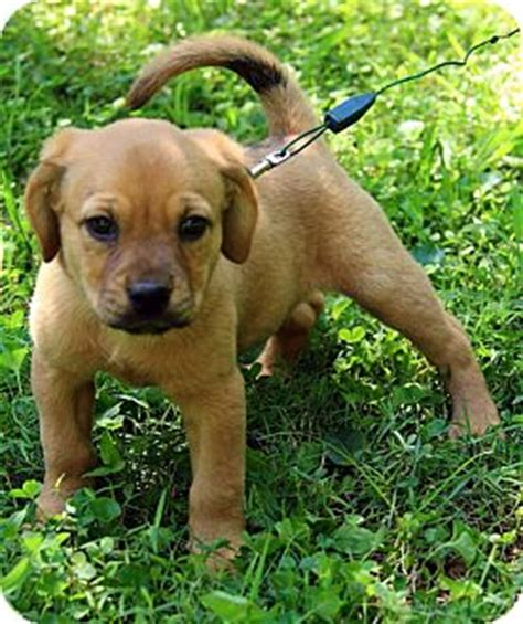 golden retriever mastiff mix puppies tillie adopted puppy dg hagerstown md mastiff golden retriever mix