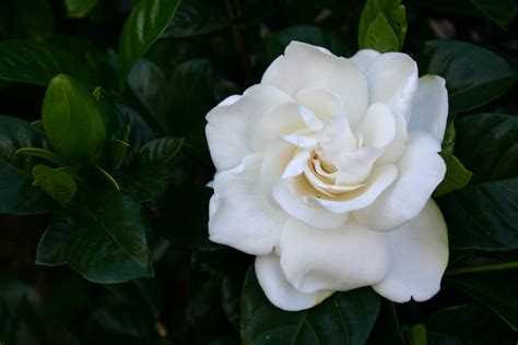 gardenia flower how to care for outdoor gardenias
