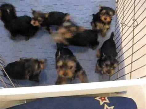 miracle yorkies worlds smartest puppy misa minnie 10 months doovi