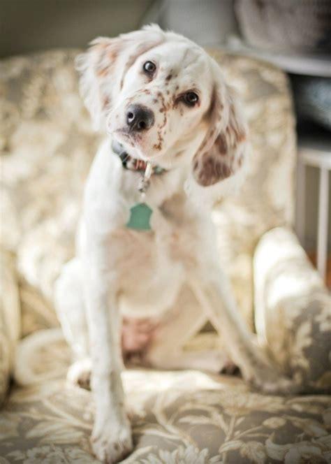 english setter dog pictures english setter on tumblr