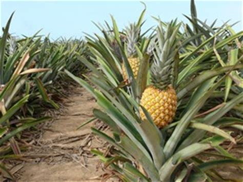 Easy To Care For Indoor Plants by Does A Pineapple Grow From A Pineapple Tree