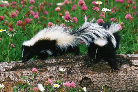 skunk control  prevention