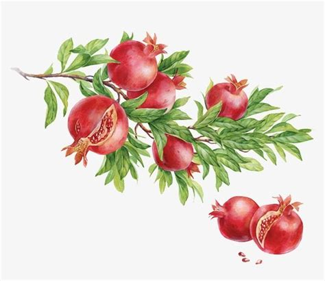 pomegranate red fruit aug fruit png transparent image