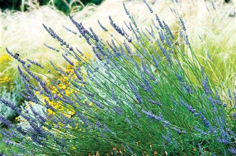 hardy lavender plants grow herbs and flowers in 25 best ideas about lavender varieties on types of lavender plants lavender garden