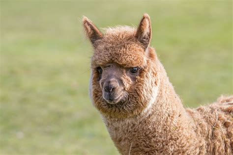 facts  alpacas  science