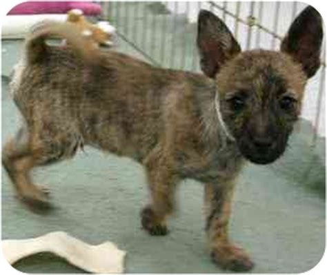 cairn terrier pomeranian mix adopted puppy house springs mo cairn terrier pomeranian mix