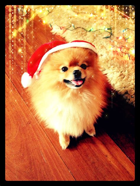 christmas pomeranian wallpaper  wallpapersafari