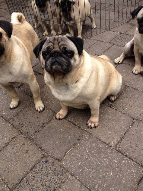 pugs available fawn spayed pug available bury greater manchester pets4homes