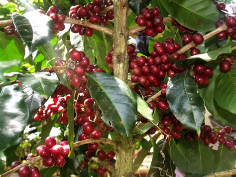 potongan tanah surga  kopi arabika gayo   gayo