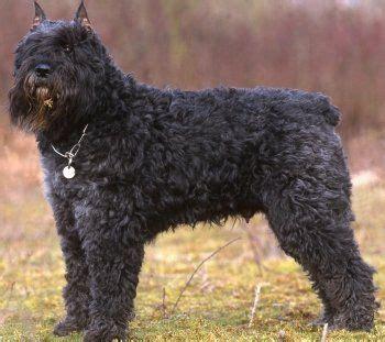 bouvier de flandres puppy 25 best ideas about bouvier des flandres on scottish terrier puppy